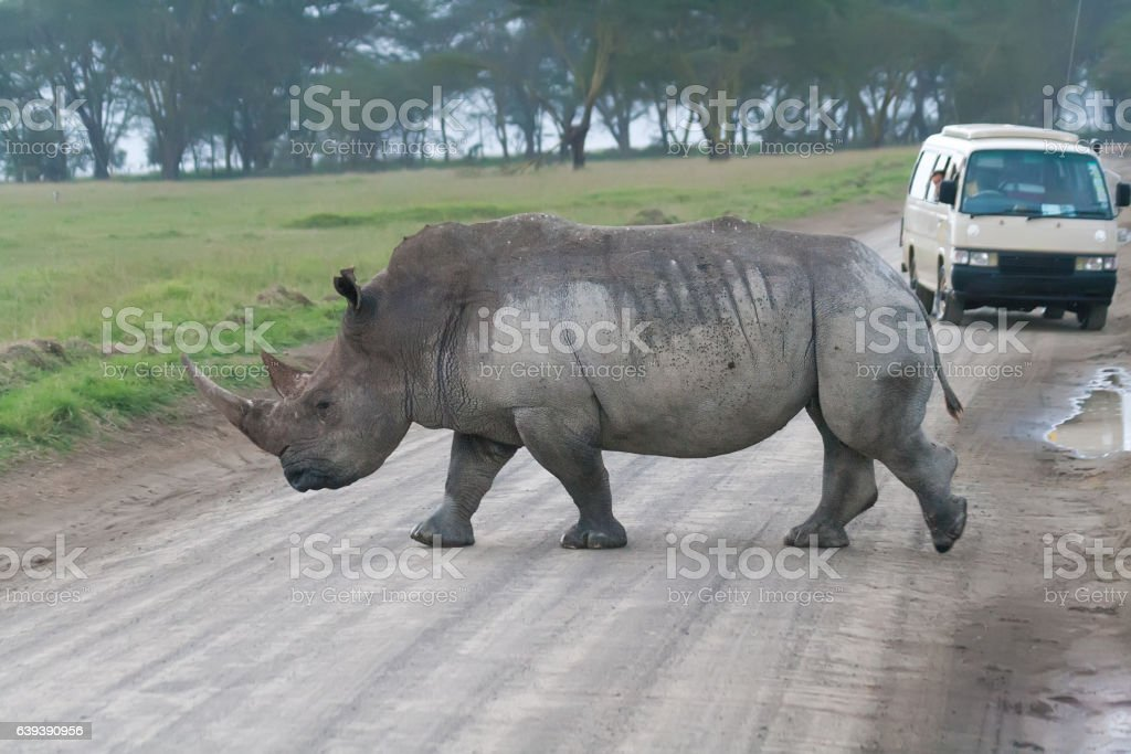 Rhino crossing the road stock photo