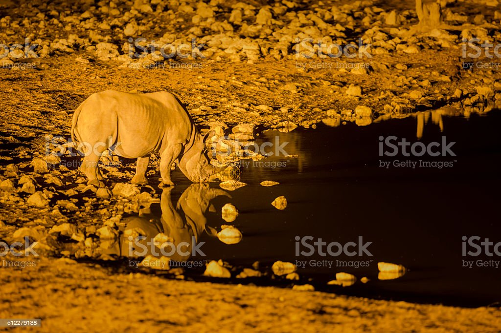 Rhino drinking at a flood lit water hole stock photo