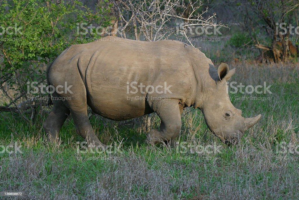 rhino eating in sunset stock photo