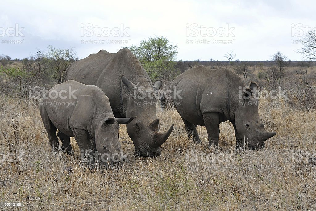 rhino family stock photo