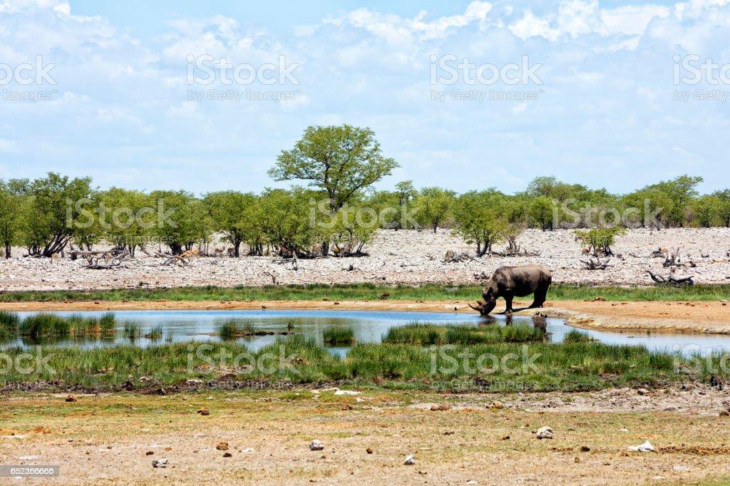 Rhino in Etosha, Namibia stock photo