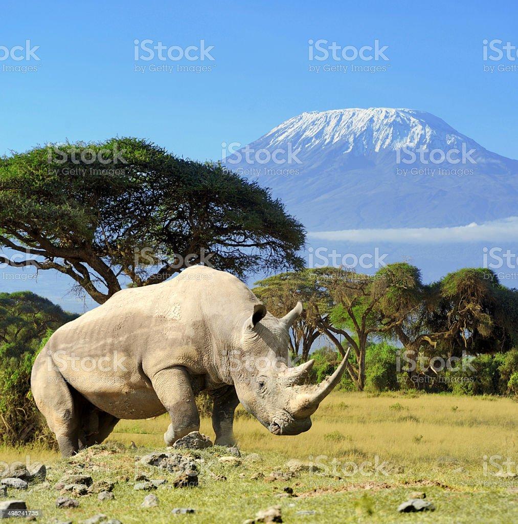 Rhino in front of Kilimanjaro mountain stock photo