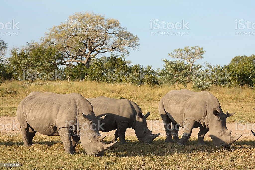 Rhino in Sabi Sand, South Africa stock photo