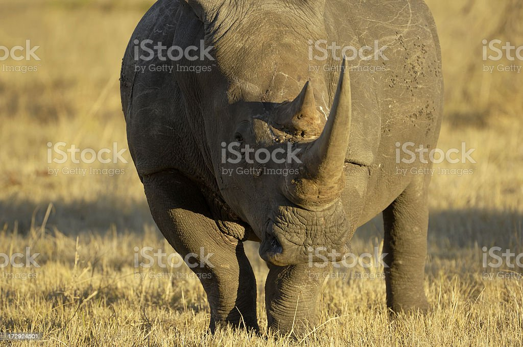 Rhino in the kruger park stock photo