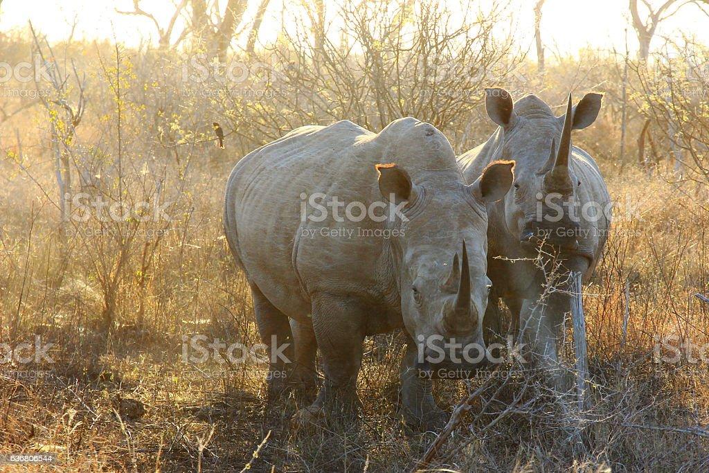 Rhino in the sunset stock photo