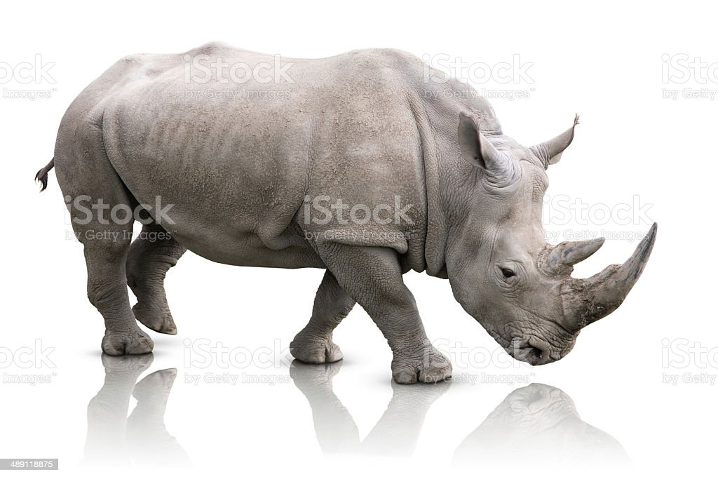 Rhino isolated stock photo