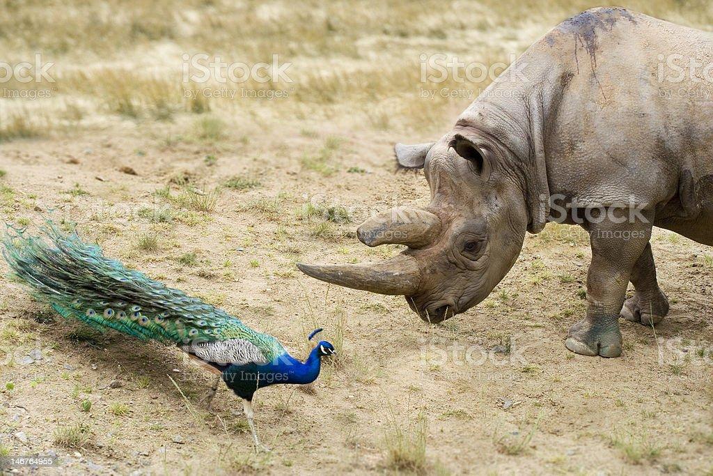 rhino et peacock photo libre de droits
