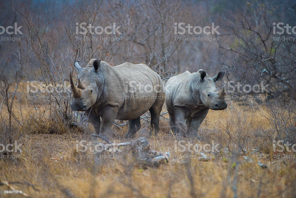 Rhino Pair royalty-free stock photo