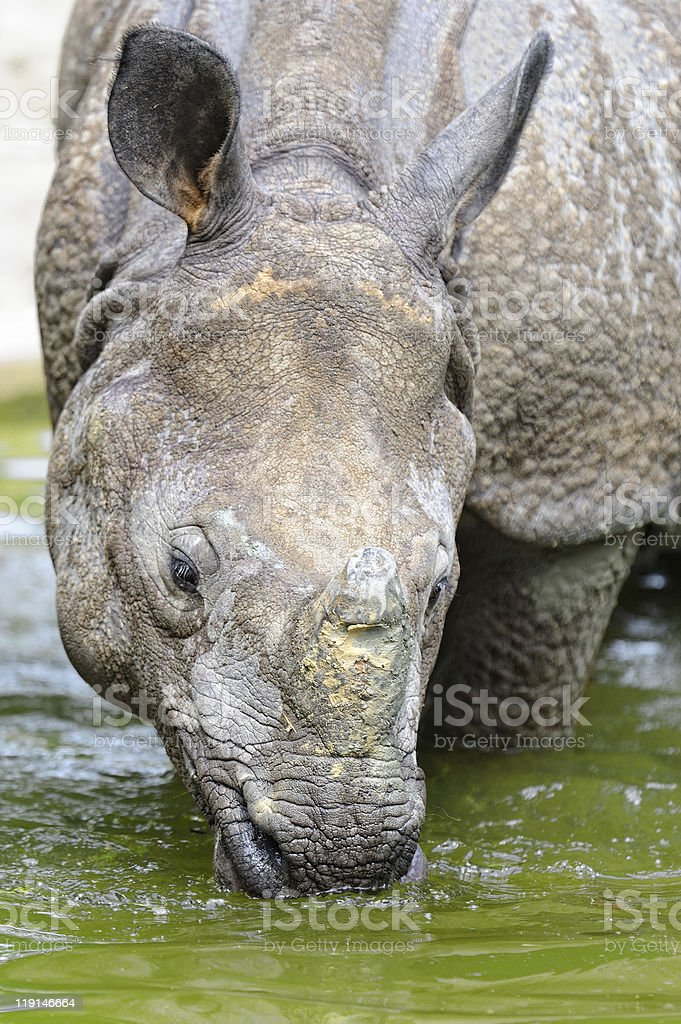 rhino - (Rhinoceros unicornis) royalty-free stock photo