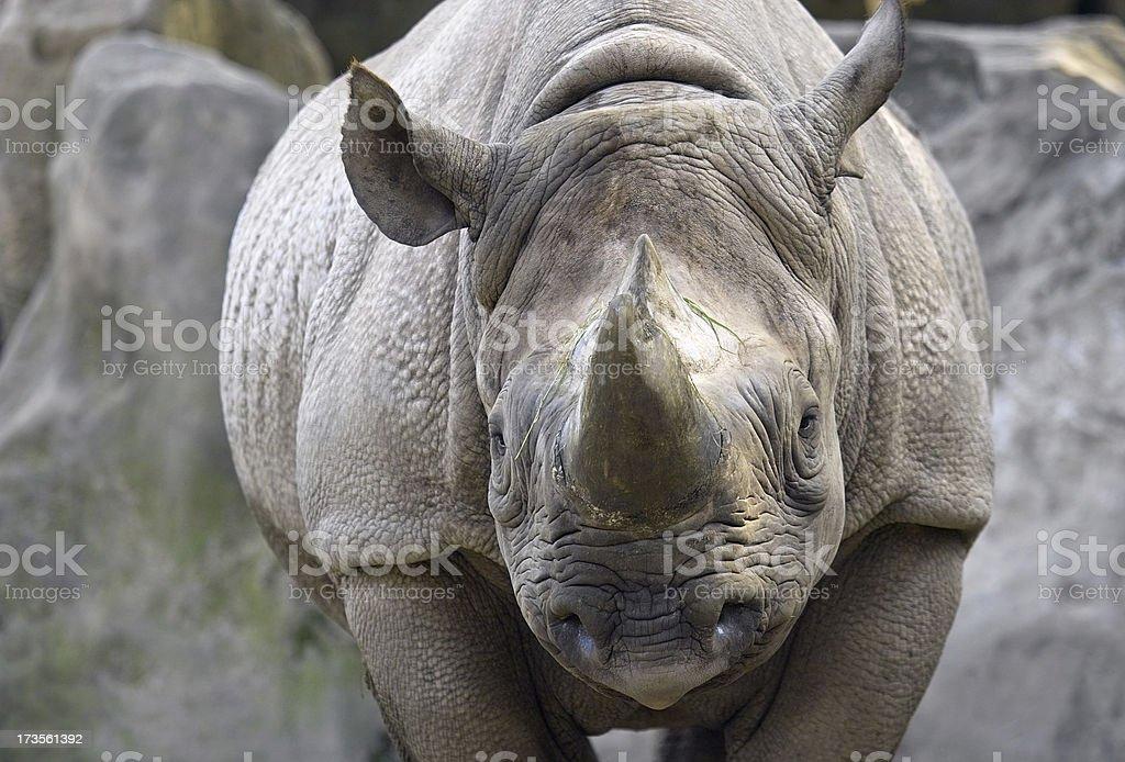 Rhino royalty-free stock photo