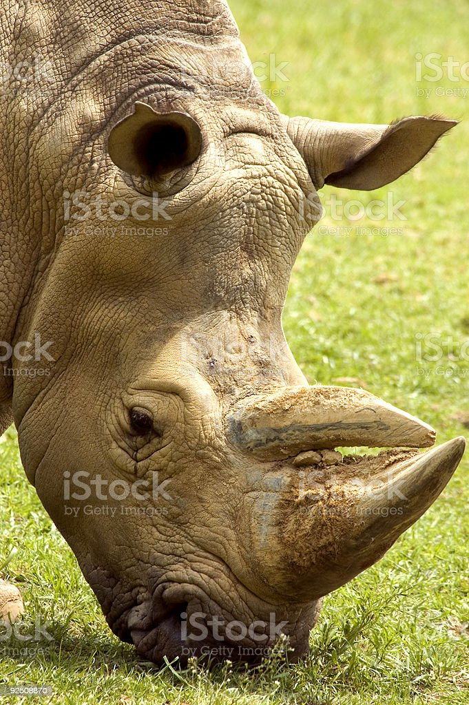 Rhino royalty-free stock photo