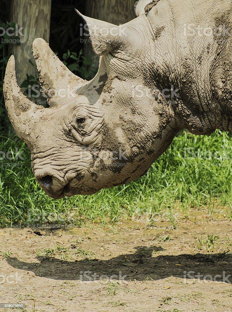 Rhino Portrait stock photo