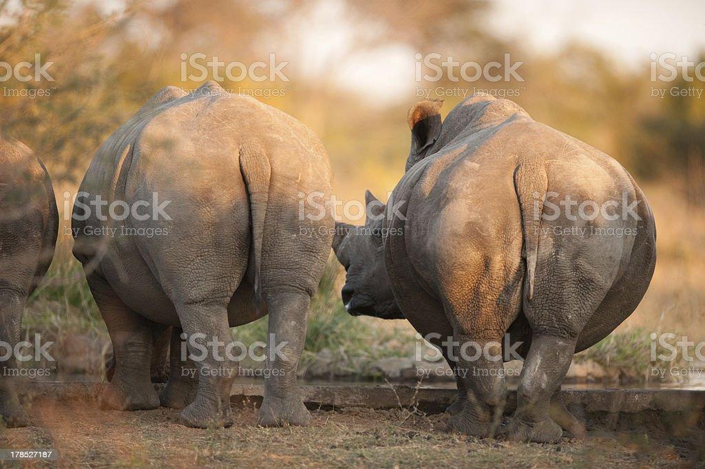 Rhino rear ends royalty-free stock photo