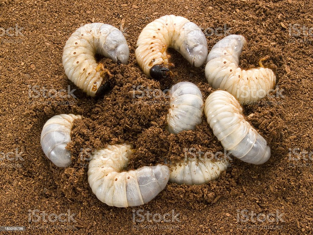 Rhino Stag Beetle Larvae stock photo