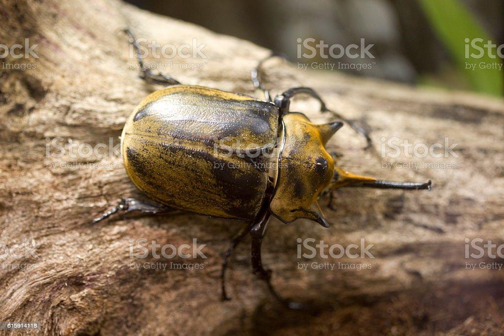 Rhino stag beetle stock photo