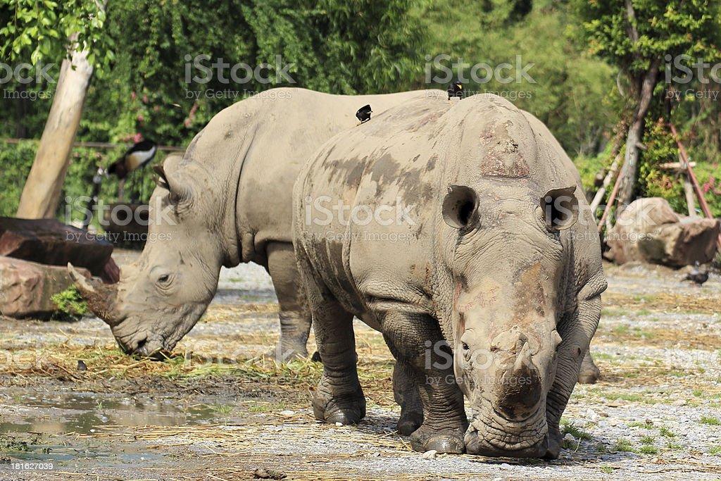 Rhino walking royalty-free stock photo