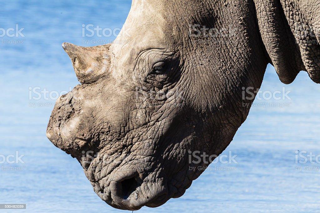 Rhino Wildlife stock photo