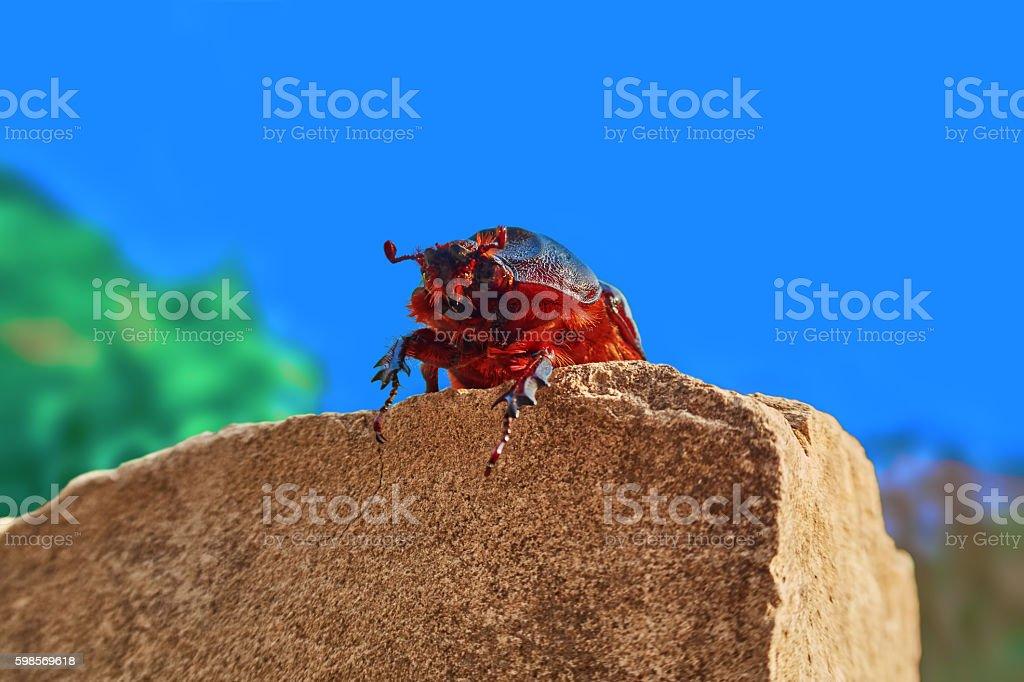 rhinoceros beetle female royalty-free stock photo