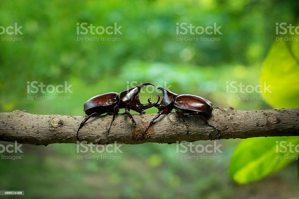 Rhinoceros beetle Fighting one another on wood in forest stock photo