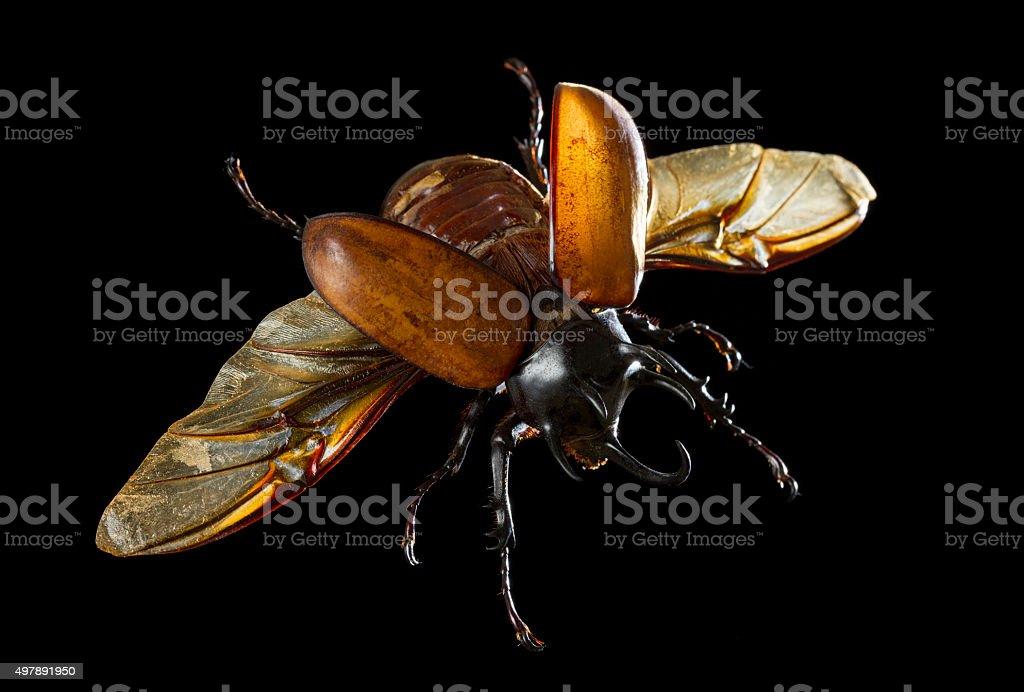 Rhinoceros beetle in flight stock photo