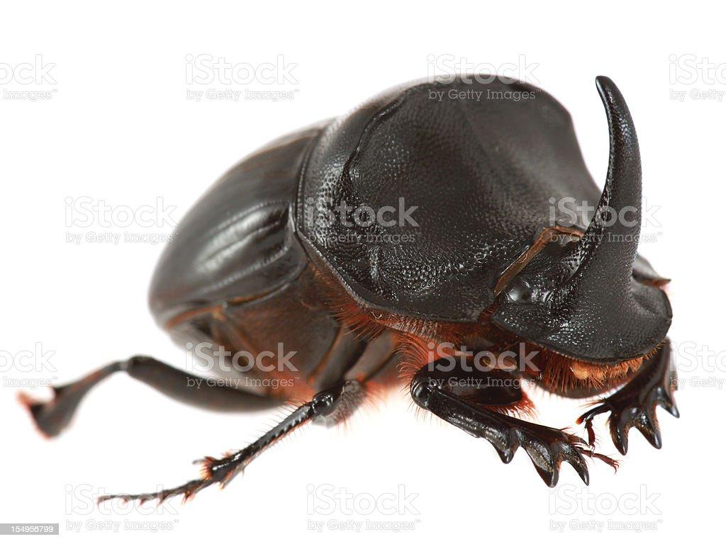 Rhinoceros beetle isolated on white royalty-free stock photo