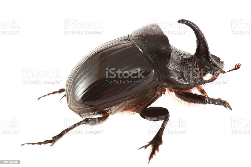 Rhinoceros beetle isolated on white stock photo
