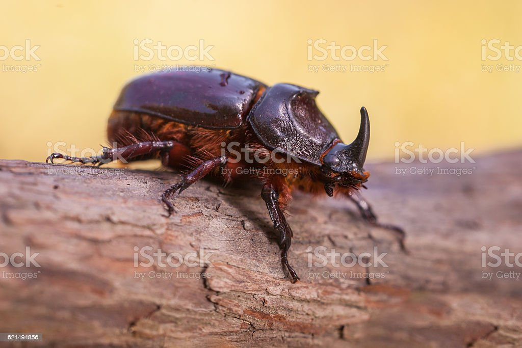Rhinoceros Beetle Macro Image stock photo