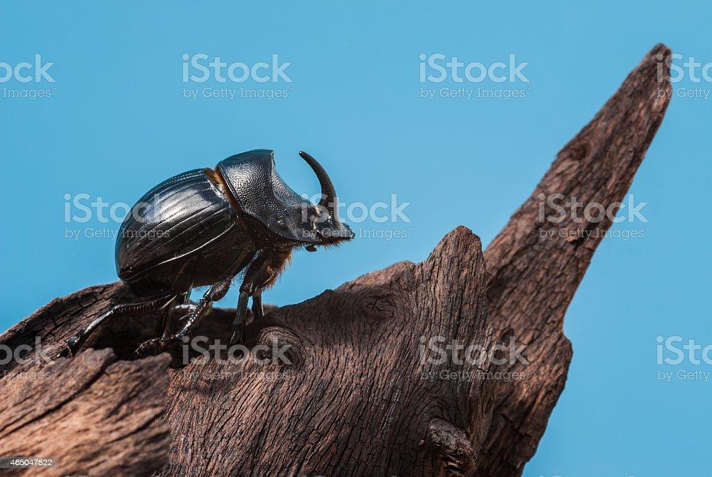 Rhinoceros beetle on trunk mangrove wood and blue background stock photo