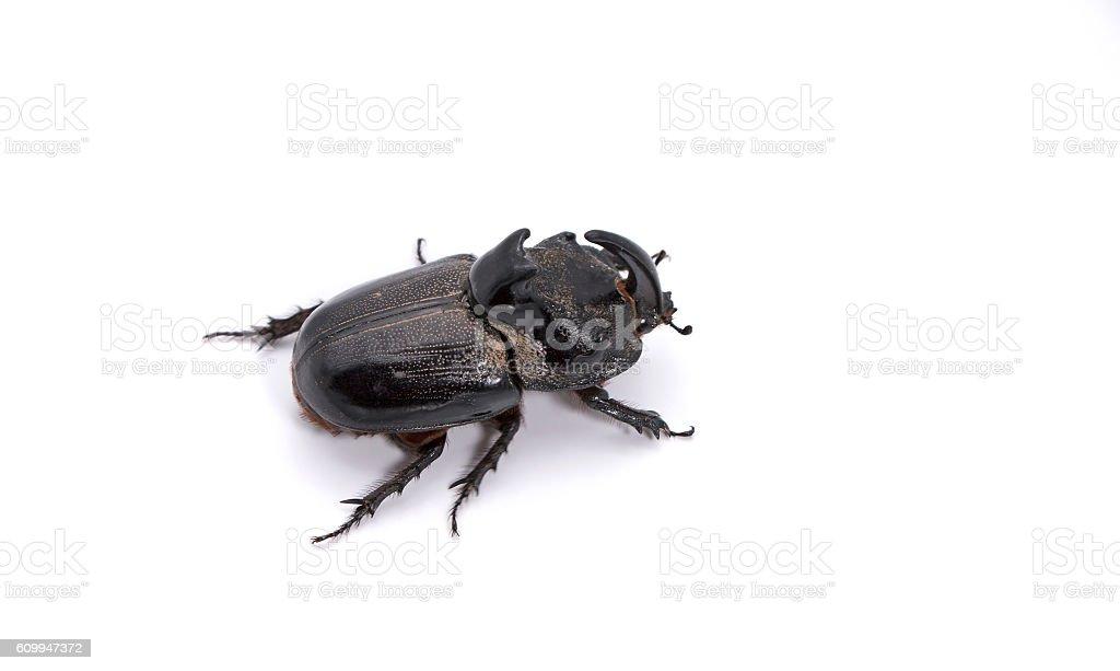 Rhinoceros Beetle on White Background stock photo