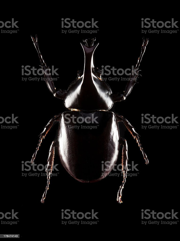 Rhinoceros beetle royalty-free stock photo