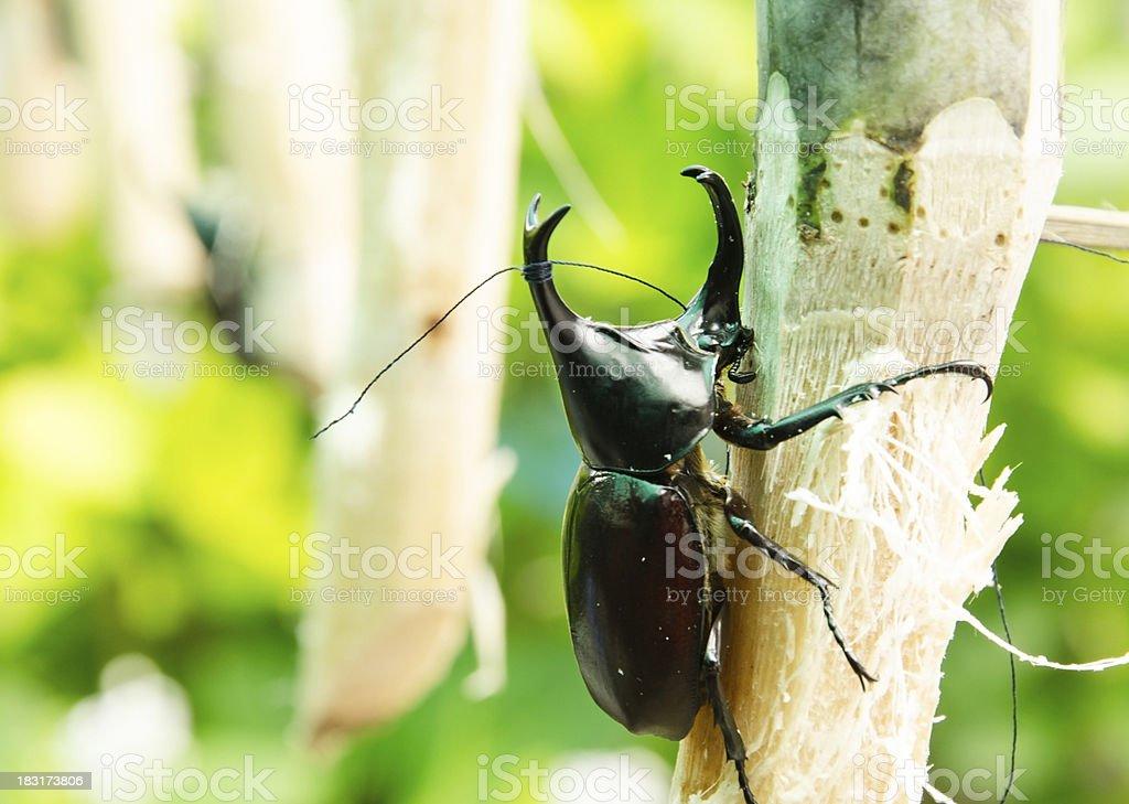 Rhinoceros beetle. royalty-free stock photo