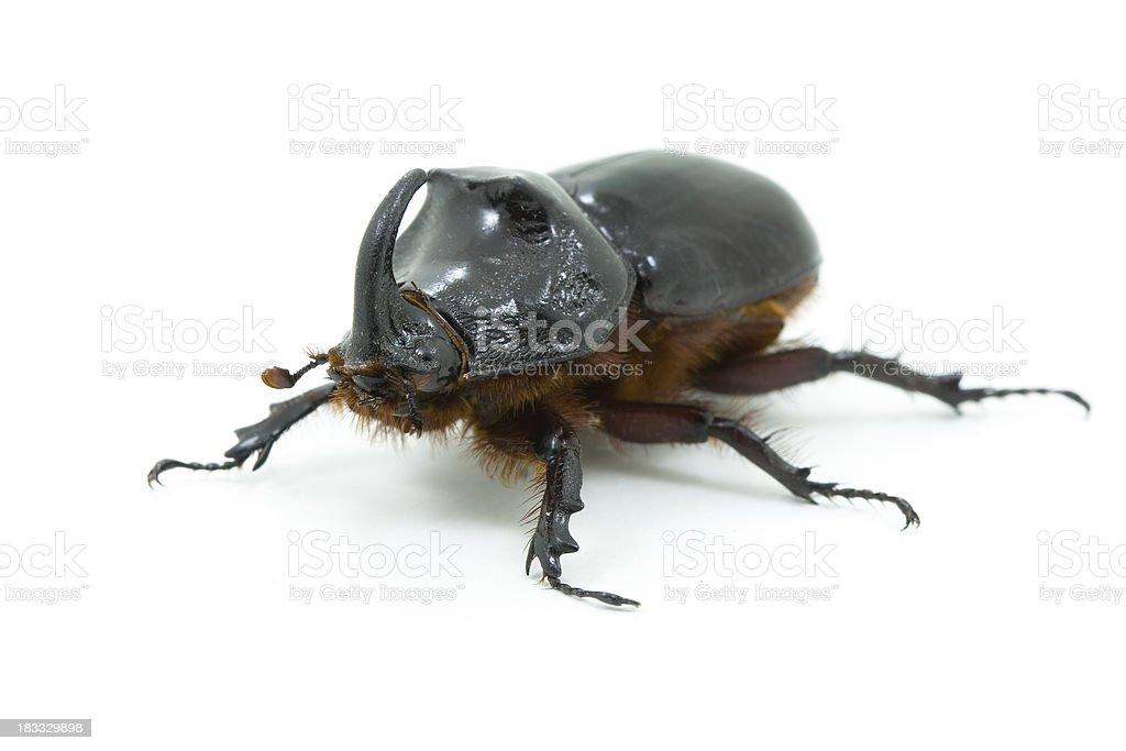 Rhinoceros beetle (Oryctes nasicornis) stock photo
