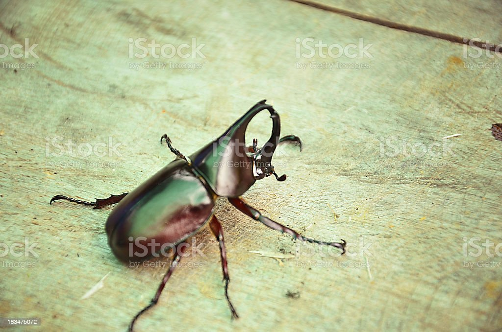 Rhinoceros beetle. royalty-free stock photo