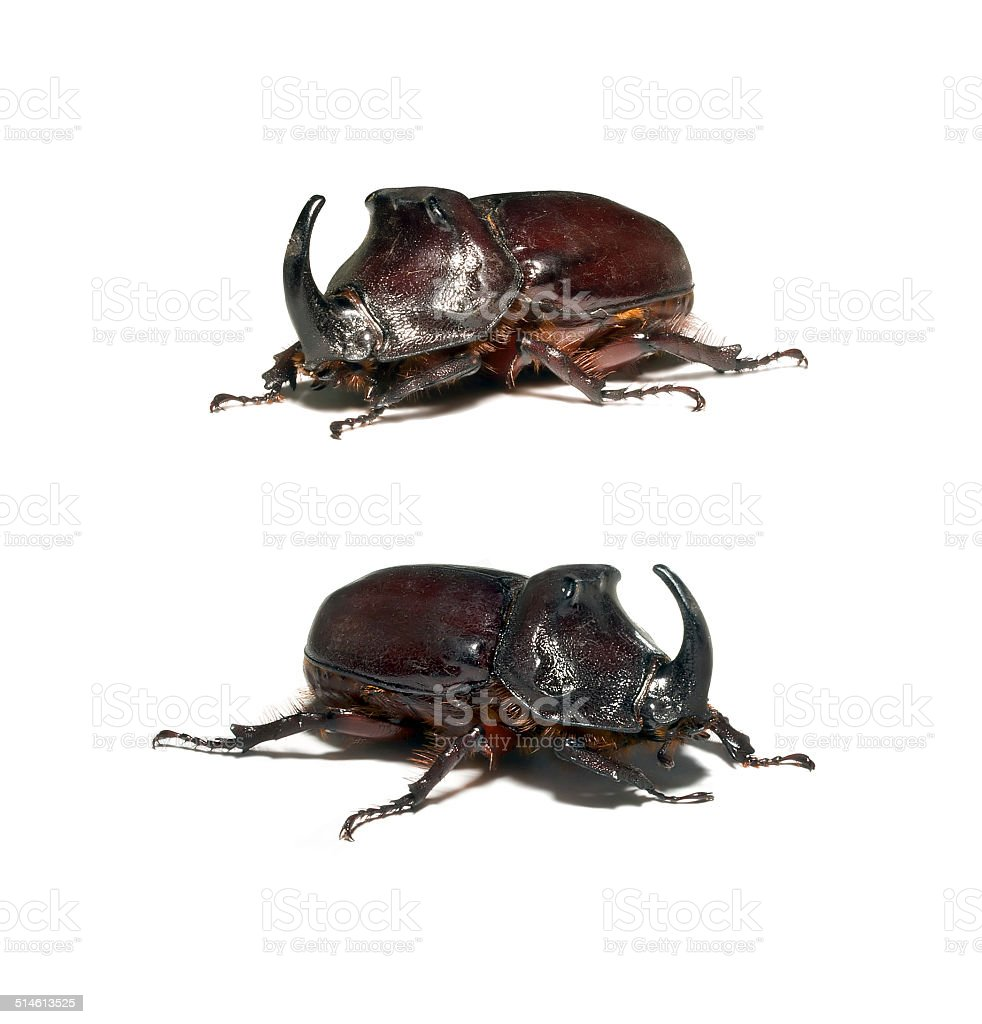 Rhinoceros beetle stock photo