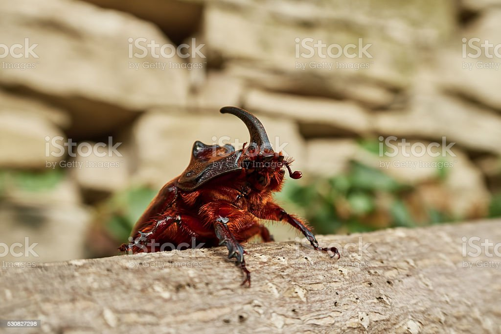 rhinoceros beetle royalty-free stock photo