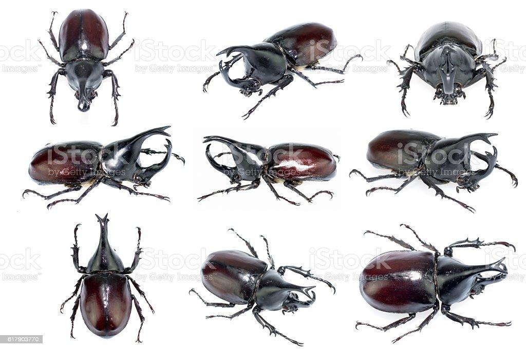 rhinoceros beetle stock photo