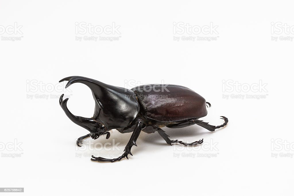 Rhinoceros beetle, Rhino beetle, Hercules beetle stock photo