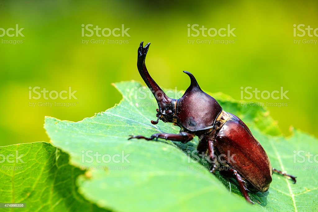 Rhinoceros beetle, Rhino beetle, Hercules beetle, Unicorn beetle stock photo