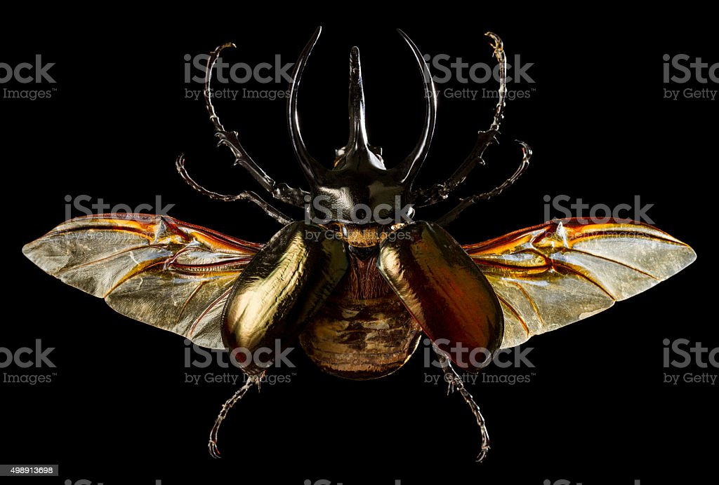 Rhinoceros Beetle wings extended stock photo