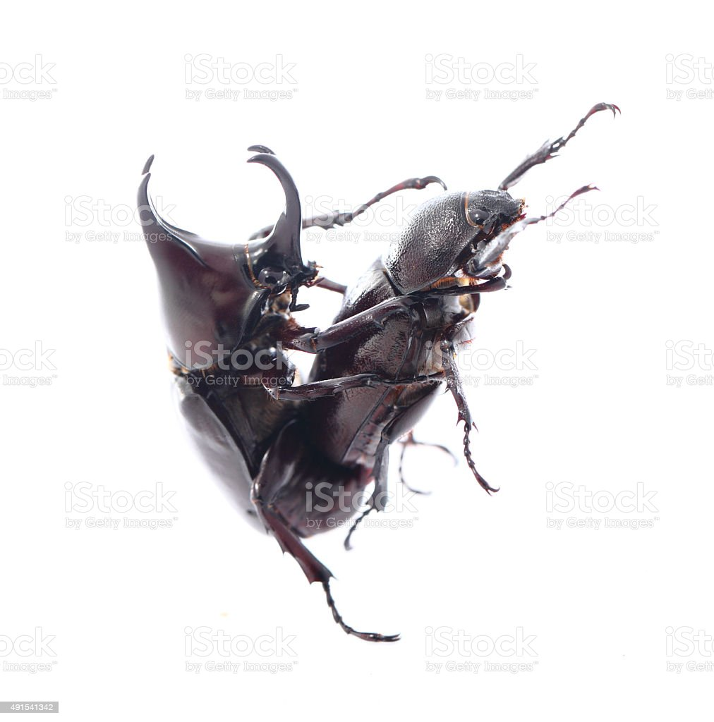 Rhinoceros beetles are breeding on white background. stock photo