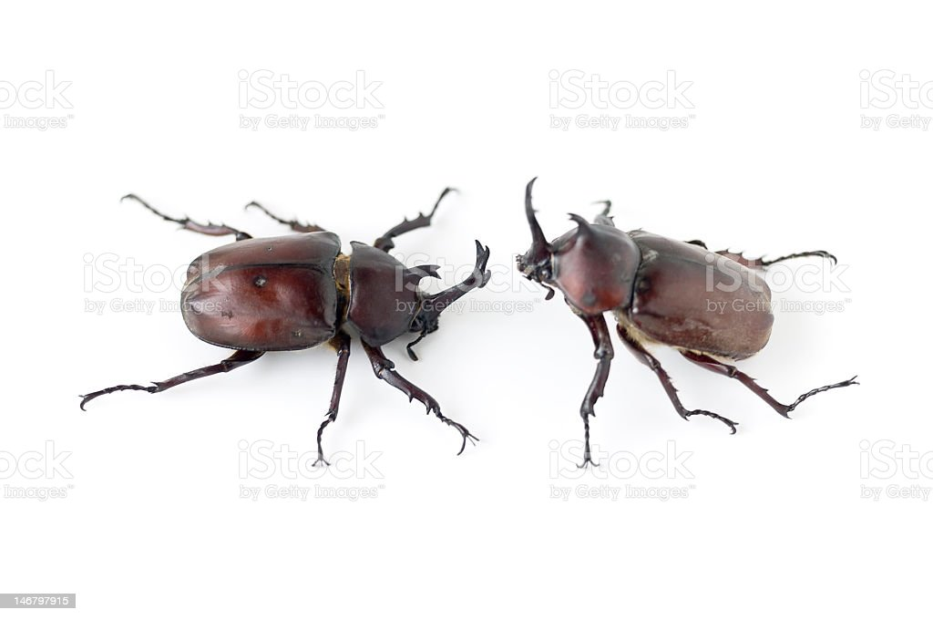 Rhinoceros Beetles stock photo
