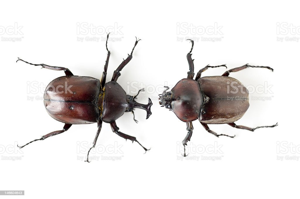 Rhinoceros Beetles stock photo
