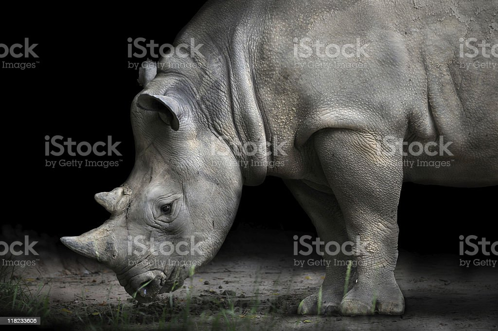Rhinoceros Bending Down To Eat royalty-free stock photo