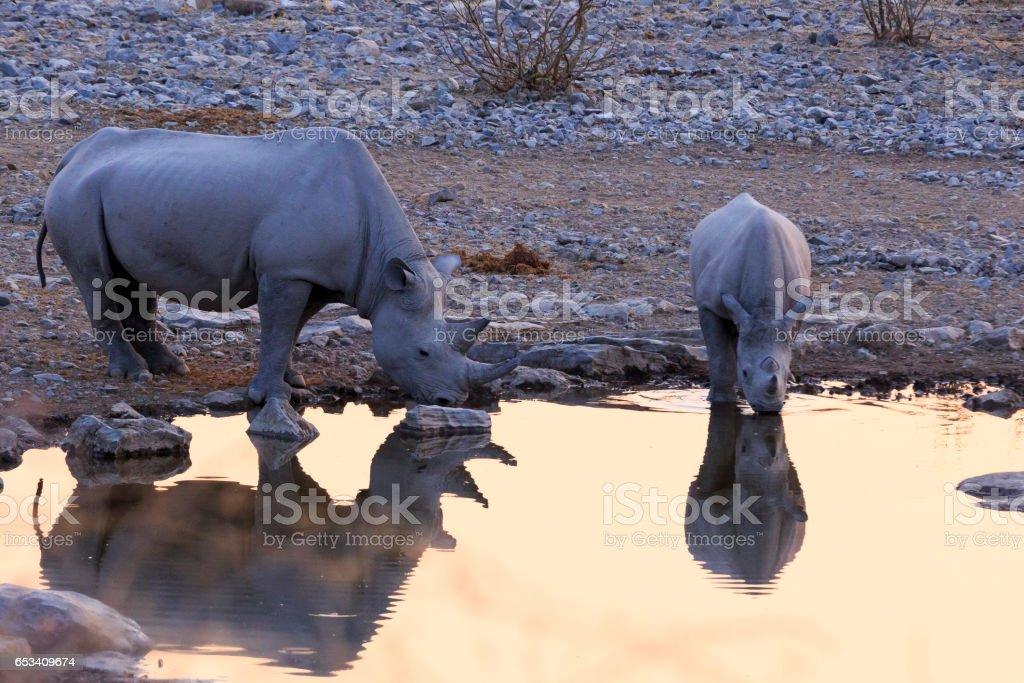 Rhinoceros drinking in Etosha Namibia stock photo