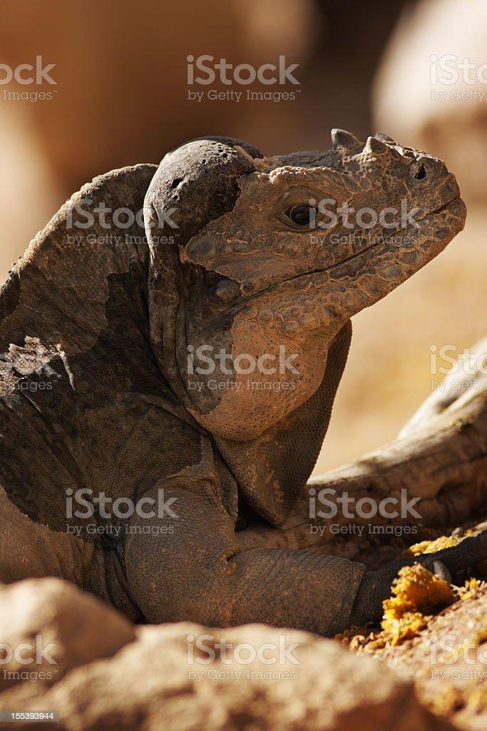 Rhinoceros Iguana Cyclura cornuta Lizard stock photo