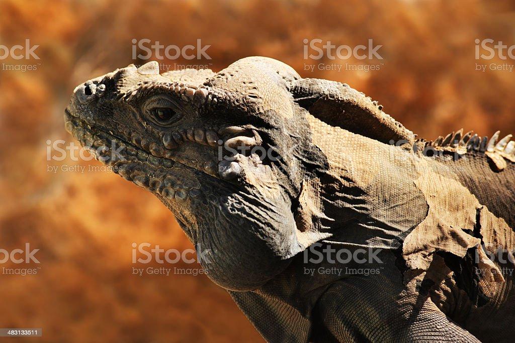 Rhinoceros Iguana Cyclura cornuta Lizard Reptile stock photo