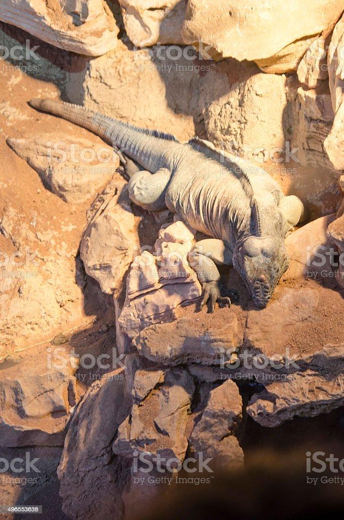 Rhinoceros iguana (Cyclura cornuta) stock photo