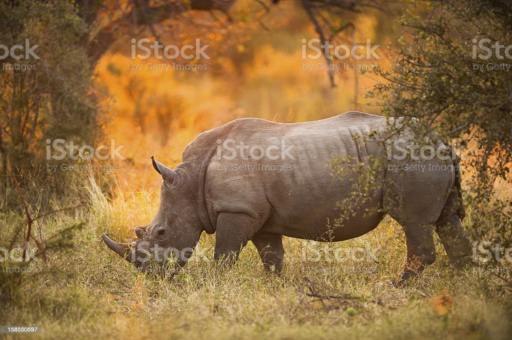Rhinoceros in late afternoon royalty-free stock photo