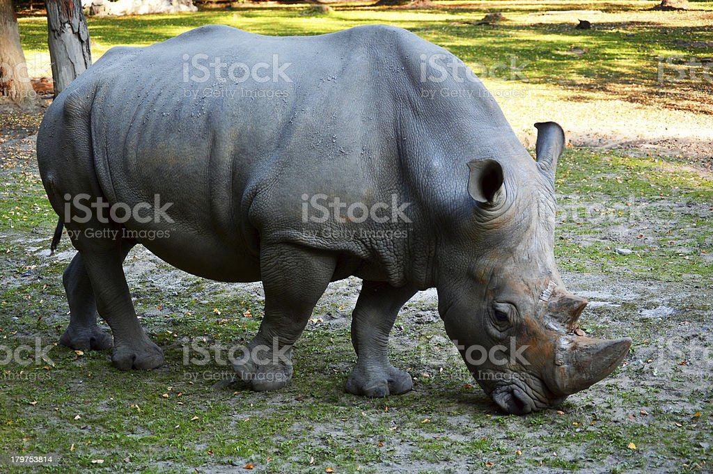Rhinoceros in natural environment royalty-free stock photo