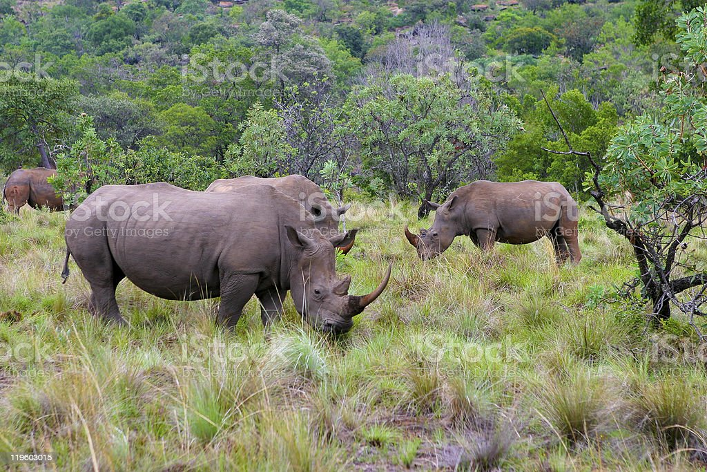 Rhinoceros in South Africa stock photo